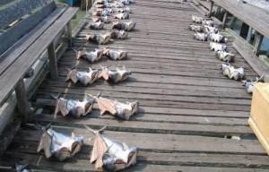 新鮮肉厚三保公魚腌製‧巴冬鹹魚飄香到北馬