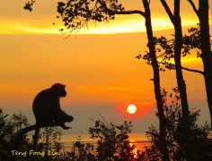 Monkey is gazing the sunset in Tanjung Ketapang