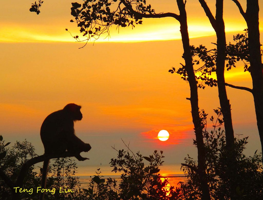 A monkey is gazing the sunset in Tanjung Ketapang